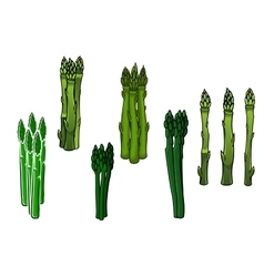 Green asparagus veggies with fleshy spears vector