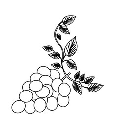 Monochrome silhouette of bunch of grapes with vector