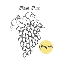 Grapes in the old ink style vector