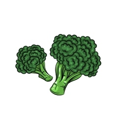 broccoli on white background vector image vector image