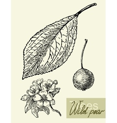 Leaves flowers and fruits of the wild pear vector