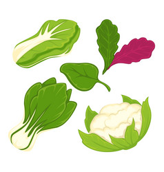 Lettuce salad vegetables isolated flat vector