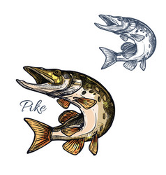 Pike fish sketch isolated icon vector