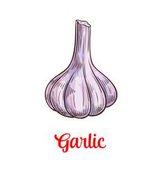 Garlic vegetable sketch for spice and food design vector