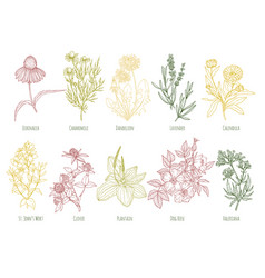 vintage set of ten colored medicinal herbs vector image