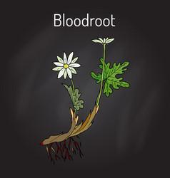 Blood root sanguinaria canadensis medicinal vector