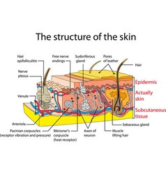 skin vector image
