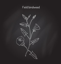 field bindweed convolvulus arvensis vector image