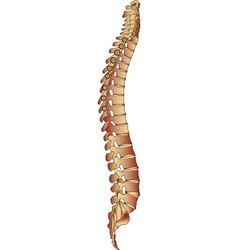 spine vector image vector image