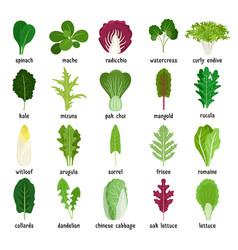 Green salad leaves set vector