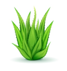 Realistic Aloe Leaves vector image vector image