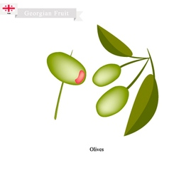 Ripe olive a popular fruit in georgia vector