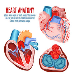 heart structure medical and anatomy poster vector image
