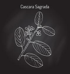 Cascara sagrada rhamnus purshiana  or persian vector