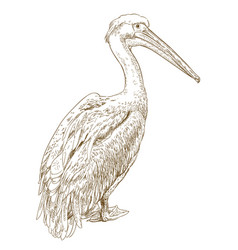 Engraving of pelican vector