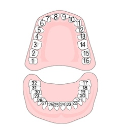 Teeth numbering vector image