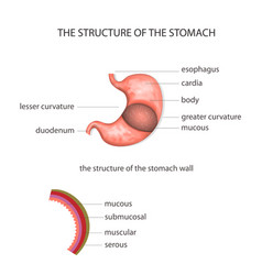 Structure of the stomach vector