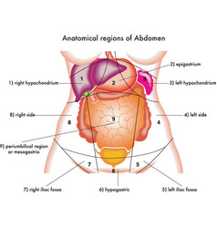 Abdomen vector