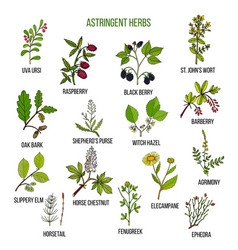 Astringent herbs hand drawn set of medicinal vector