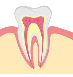 Structure of human tooth vector