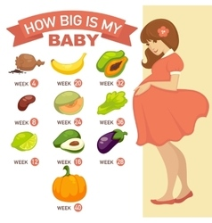 How big is my baby pregnant infographic vector