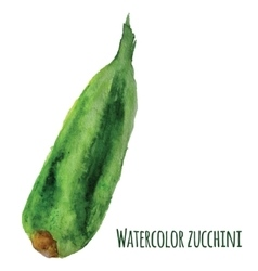 Fresh watercolor zucchini isolated on white vector