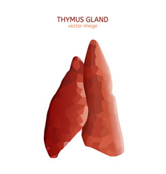 thymus gland image vector image vector image
