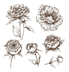 Hand drawn peony flowers set vector