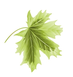 Leaf maple on a white background vector