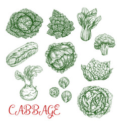 Cabbage sketch icons of vegetables vector