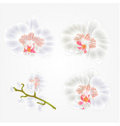 Orchid phalaenopsis white flowers tropical plants vector