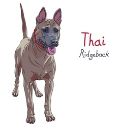 Red thai ridgeback dog breed standing vector