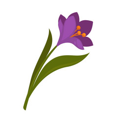 Spring violet crocus flower with green leaves vector
