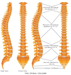 The spinal column vector