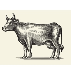 black cow vector image