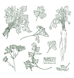 parsley set hand drawn contour collection with vector image vector image