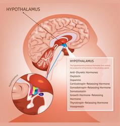 Hypothalamus image vector