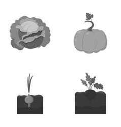 Cabbage pumpkin onion buriakplant set vector