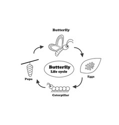 butterfly life cycle in outline style vector image