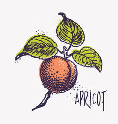 Engraving apricot with ink blots vector