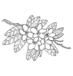 Plumeria flowers coloring book vector