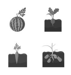 Watermelon radish carrots potatoes plant set vector