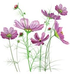 Garden flowers cosmos bipinnatus vector
