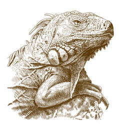 Engraving of iguana head vector