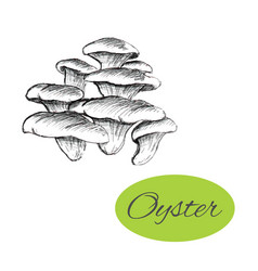 oyster mushrooms drawing vector image