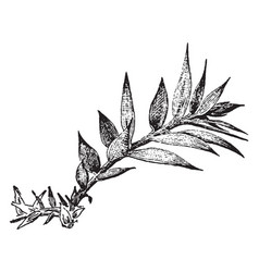 Araucaria bidwillii vintage vector
