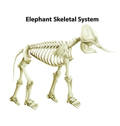 Skeletal system of an elephant vector