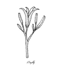 Hand drawn of fresh daylily vector