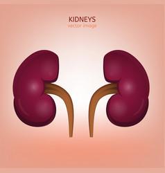 human kidney image vector image vector image