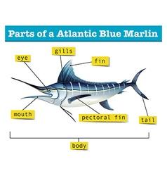Diagram showing parts of atlantic blue marlin vector